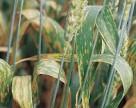 Пиренефороз прямая угроза зерновым культурам