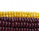Цены на кукурузу в Украине растут из-за обострения внутриполитической ситуации