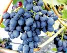 Швайка выступил за спасение виноградной отрасли в Украине
