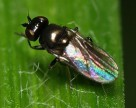 Злаковые мухи угрожают урожаю