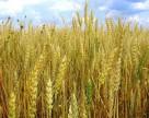 В Китае будут производить «редкий» гербицид
