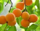 Урожай абрикос в Крыму погиб