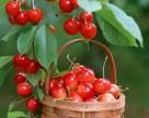 Украина может потерять до 90% урожая черешни