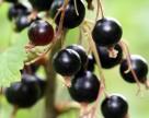 Похолодание в Украине может стать фатальным для урожая смородины и земляники