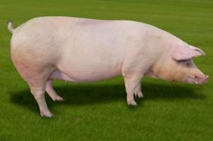 ЕБРР выделил свиноводческой компании «Нива Переяславщины» кредит на $30 млн.