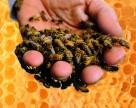 За цей рік від пестицидів в Україні загинуло 1066 бджолосімей