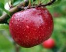 Украина ожидает высокий урожай яблок