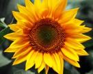 Как лучше убрать лишнюю влагу из урожая подсолнечника