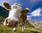 Украина имеет все шансы быть в числе мировых лидеров по производству молока