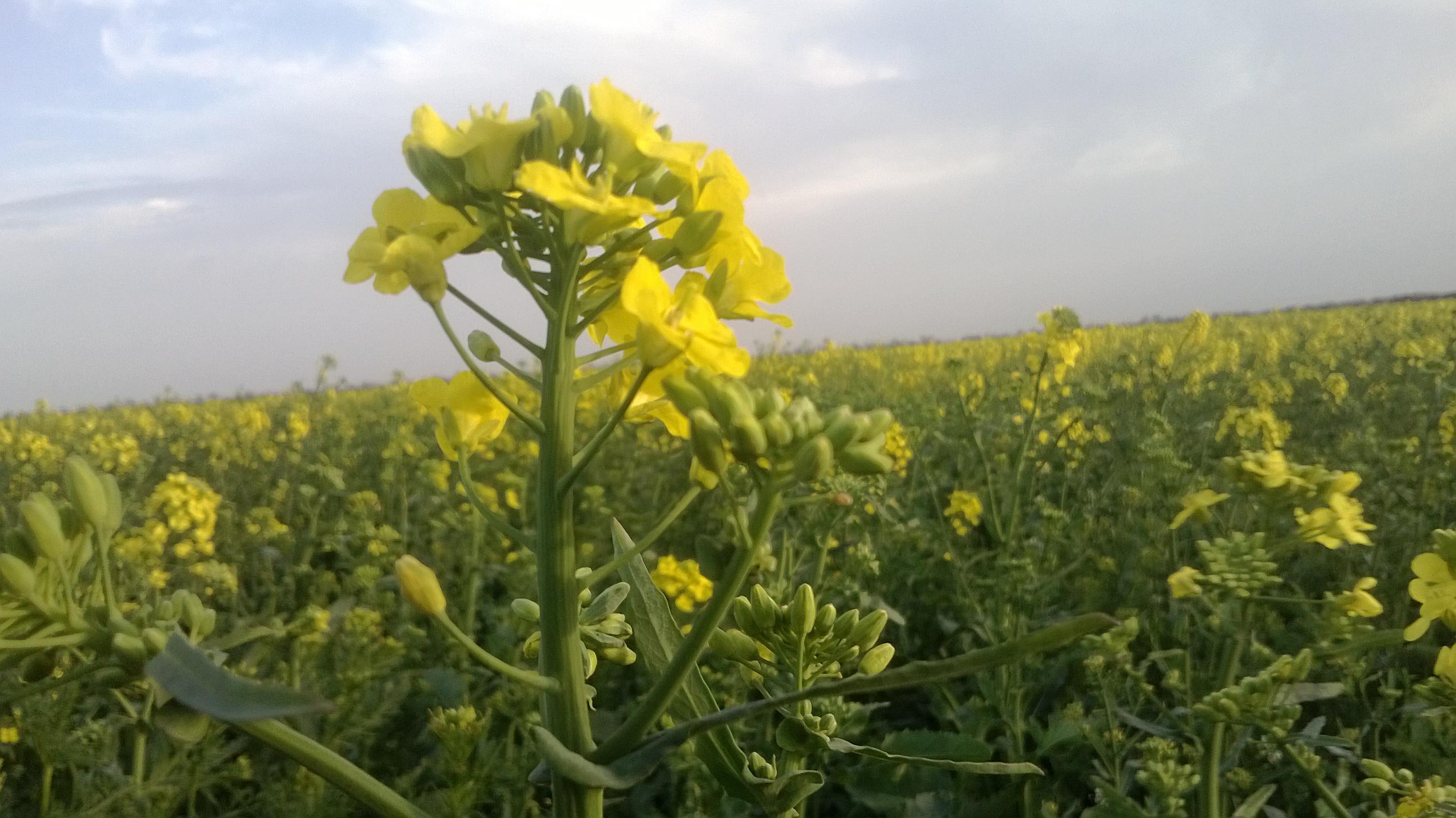 Выращивание ярового рапса в украине 55