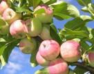 В августе Украина увеличила экспорт яблока в Россию