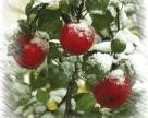 Украина не смогла собрать до 20% урожая яблок из-за погоды