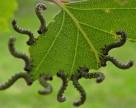 Bt-токсин теперь не так опасен для насекомых