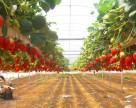 Вирусы овощных культур могут атаковать Украину