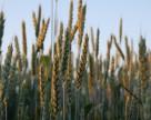 Самая высокая урожайность пшеницы в Украине в 2014 году