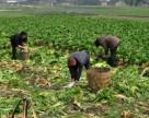 Китай упрощает регистрацию биопестицидов