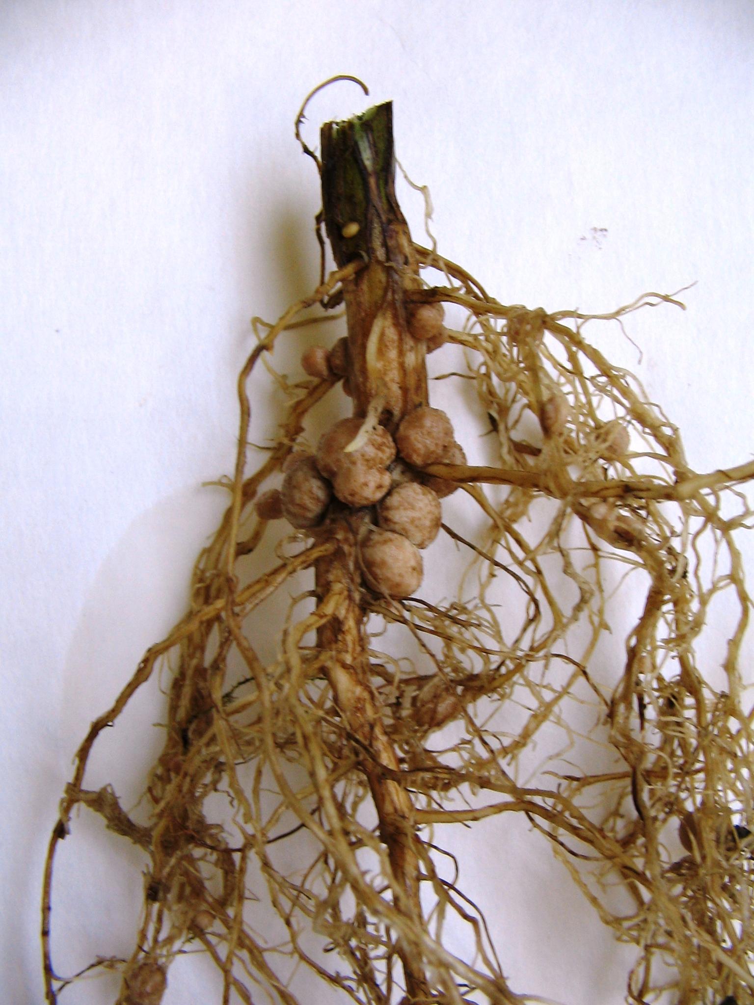 Цветок с корневой системой фото