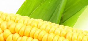 Хрущев был прав: кукурузу сеять выгодно!