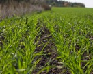 Личинки злакових мух пошкодили до 3% озимих зернових