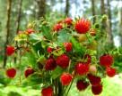 Лесная земляника поможет в борьбе с вредителями плодовых культур
