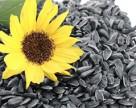 Україна втратила запаси олійних культур