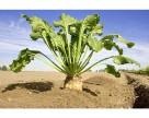 Высокий урожай сахарной свеклы при минимуме гербицидов