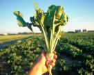 Посевы сахарной свеклы в Украине сократятся еще на 30%