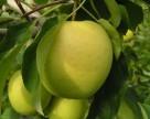 Когда в Украине появятся яблоки нового урожая
