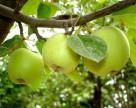 Украина недополучит яблок Симиренко и Голден