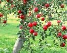 Садоводам Закарпатья возмещают стоимость саженцев