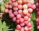 Куди рухається українське виноградарство