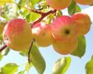 Засуха уничтожает украинский урожай яблок
