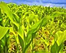 В Одесской области урожайность ранних сортов кукурузы на 40-50% ниже прошлогодней