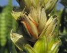 Погодні умови вплинули на поширення хвороб рослин