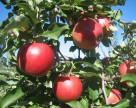 Яблоки Джонаголд удвоили свое присутствие на  украинском рынке