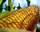У ГМО-кукурузы проблемы с вредителями