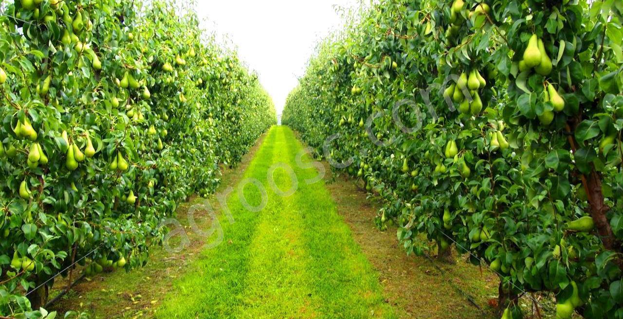 Картинки яблоневого сада