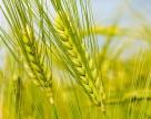 На Кировоградщине погибло 20% озимой пшеницы