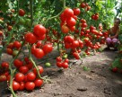 В Австрии обнаружили вирус морщинистости томатов
