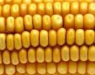 Устойчивую к микотоксинам кукурузу лишили финансирования