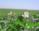 Чем в Европе защищают картофель