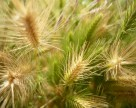 На юге Украины повреждены посевы ячменя