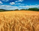 Потери урожая в Украине могут составить 25-30% из-за корневых гнилей. Что делать?