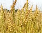 На Херсонщине увеличат посевные площади под зерновыми