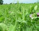 Агрохолдинг «Росток-Холдинг» впервые посеет яровой ячмень и горох