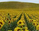Генезис новітнього захисту:  чистий соняшник за одну обробку