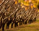 «Массандра» начинает возрождать крымские аборигенные сорта винограда