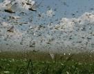 Саранча угрожает почти двум миллионам гектаров казахстанских посевов