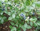 Самая дорогая ягода в Украине