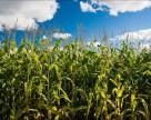 Ученые продолжают исследовать гельминтоспориоз кукурузы